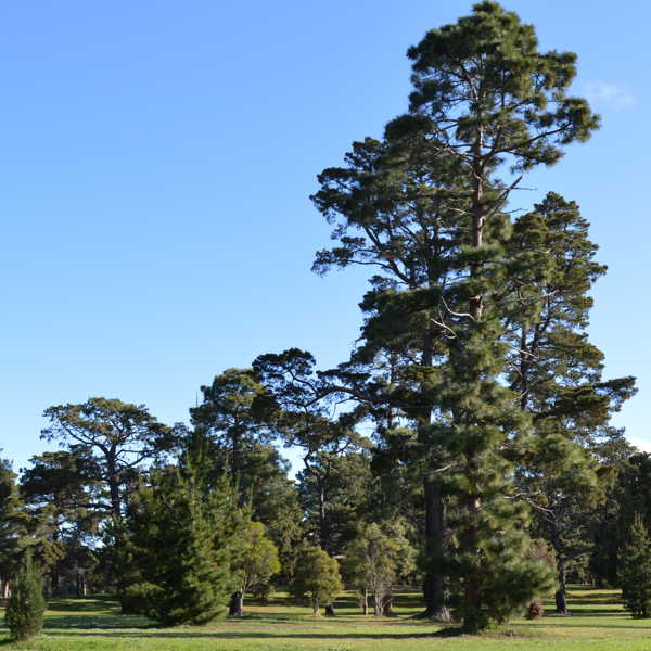pine trees at Eastern Park Geelong